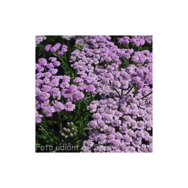 Achillea millefolium 'Lilac Beauty'.<br/>Røllike