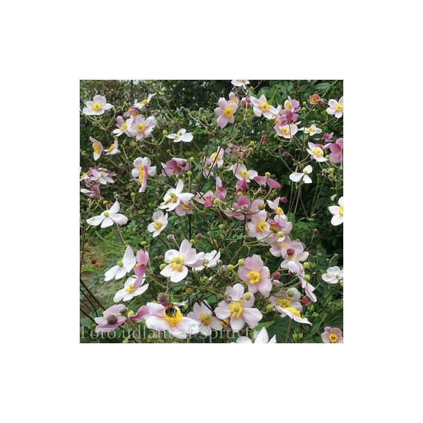 Anemone hybrida 'Cloudy Abundance'.<br/>Høstanemone
