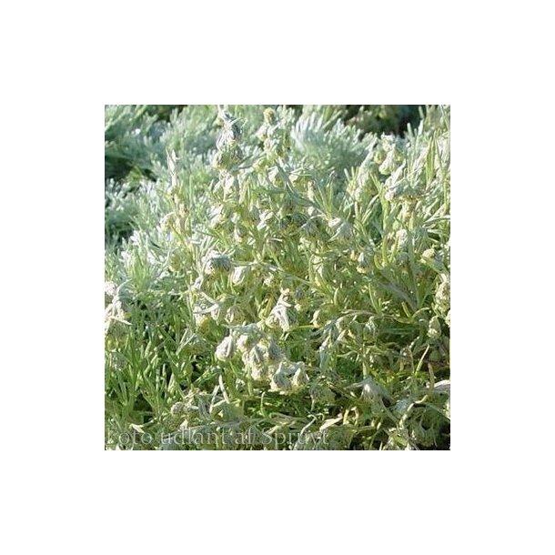 Artemisia schmidtiana 'Nana'.<br/>Bynke
