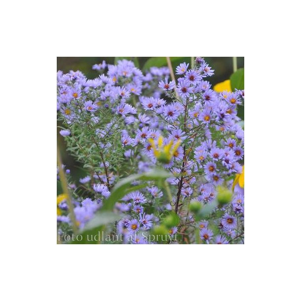 Aster novae-angliae 'Guido en Gezelle.<br/>Asters