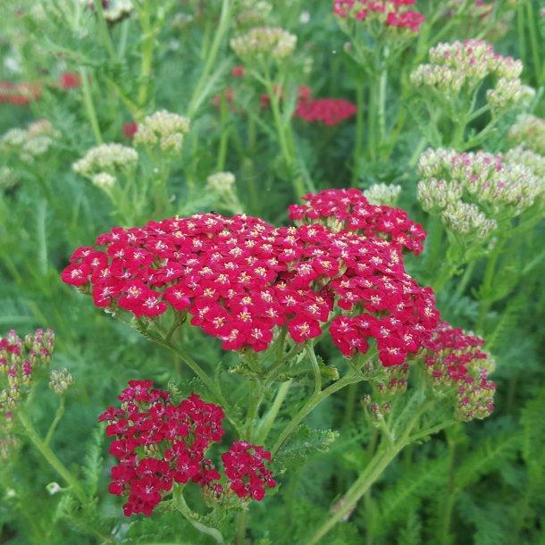 Achillea millefolium 'New Vintage Red'.<br/>Røllike