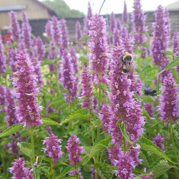 Agastache 'Beelicious Purple'.<br/>Anisisop