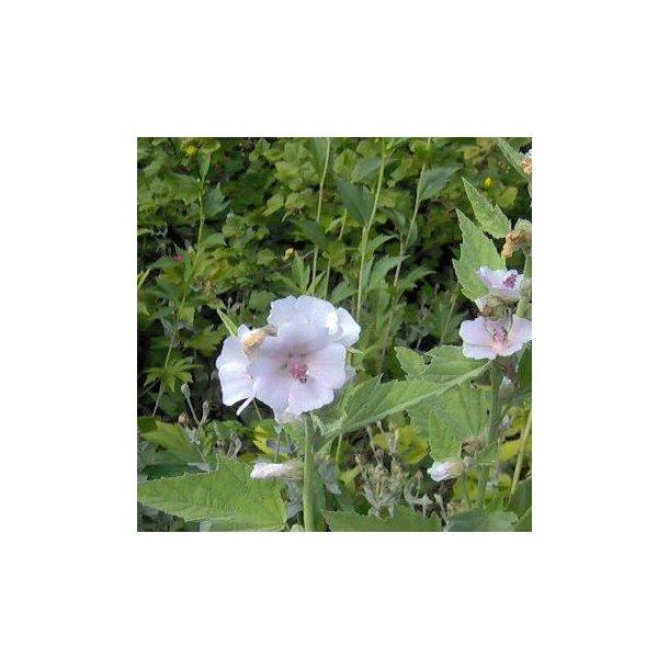 Althaea officinalis.<br/>Lægestokrose