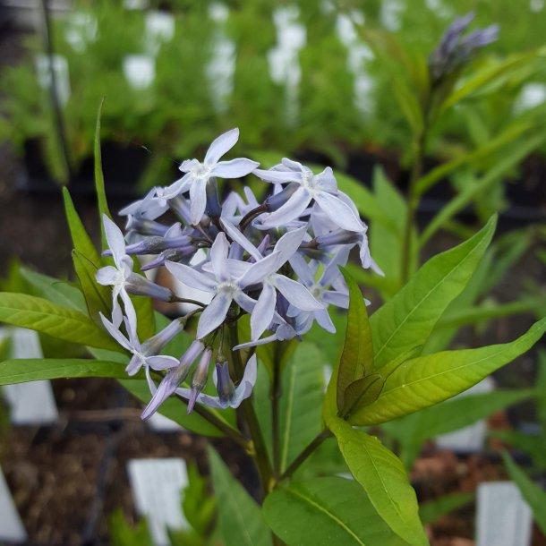 Amsonia tabernaemontana salicifolia.<br/>Amsonia