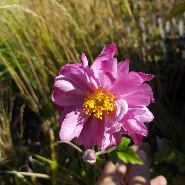 Anemone hybrida 'Carmen'.<br/>Høstanemone