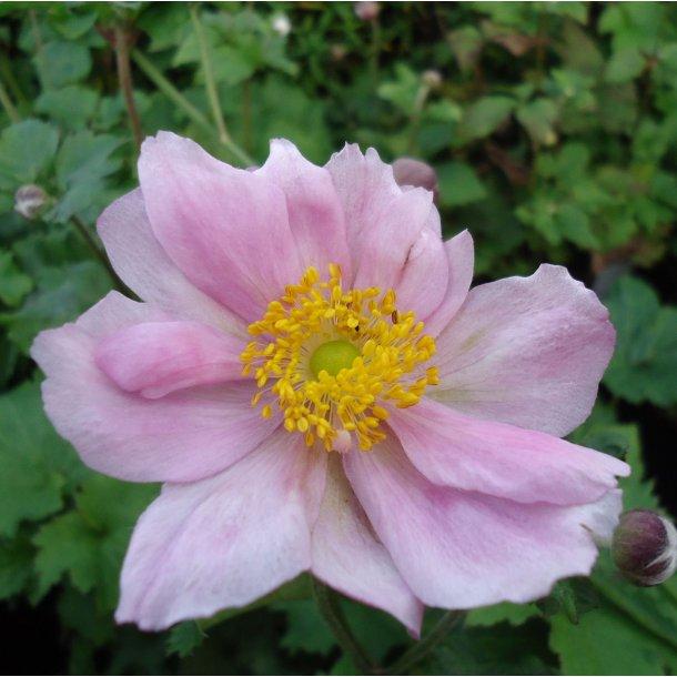 Anemone japonica 'Königin Charlotte'.<br/>Høstanemone
