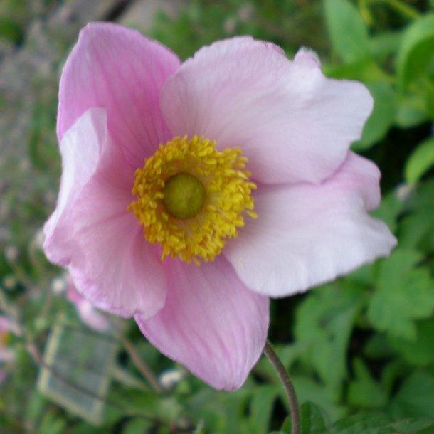Anemone hupehensis 'September Charm'.<br/>Høstanemone
