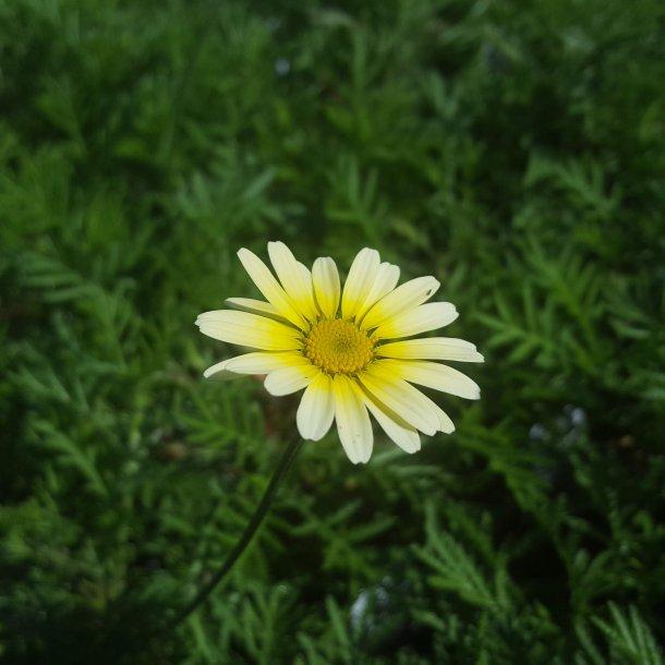 Anthemis tinctoria 'Lemon Ice'.<br/>Gåseurt