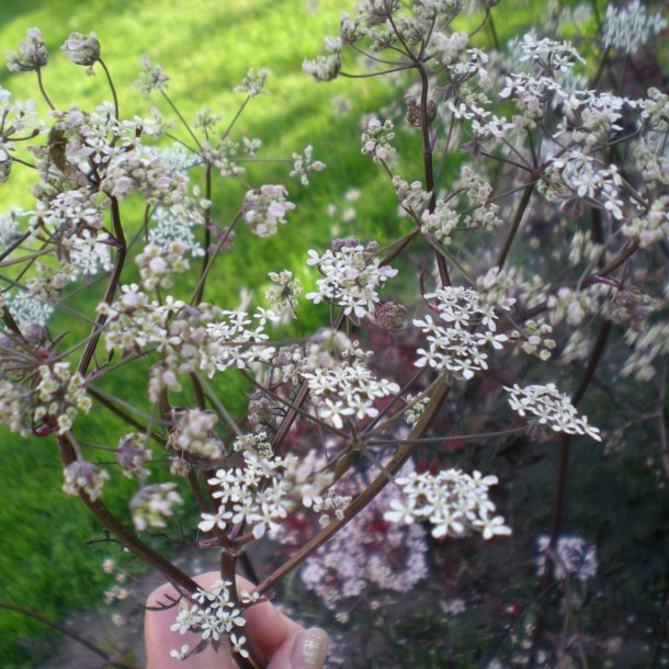 Anthriscus sylvestris 'Ravenswing'.<br/>Kørvel