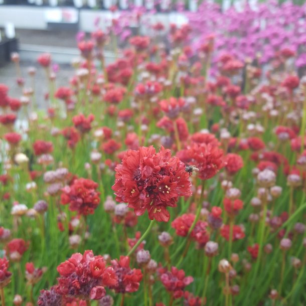 Armeria pseudarmeria 'Ballerina Red'.<br/>Engelsk græs
