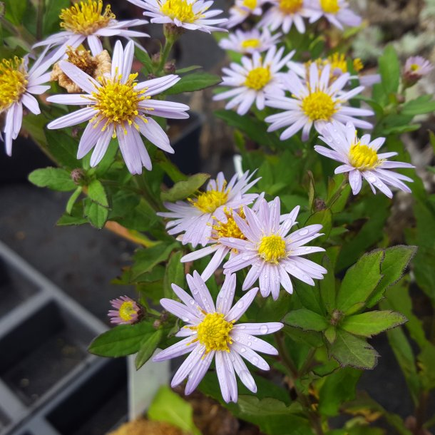 Aster ageratoides 'Asran'.<br/>Asters