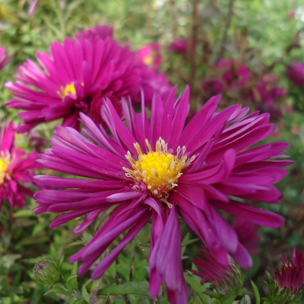 Aster novae-belgii 'Crimson Brocade'.<br/>Asters