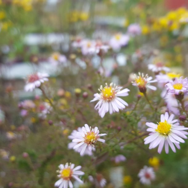 Aster ericoides 'Pink Cloud'. <br/>Lyngasters