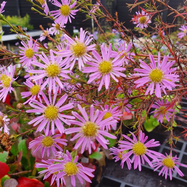 Aster 'Pink Star'.<br/>Asters