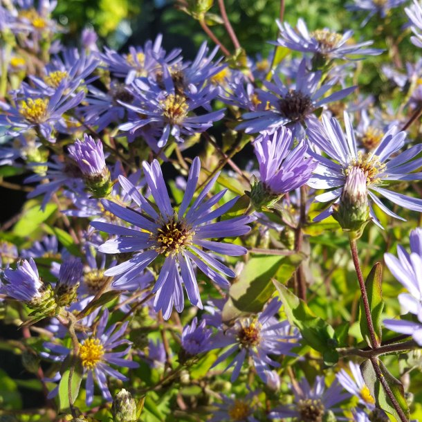 Aster macrophyllus 'Twilight'.<br/>Asters