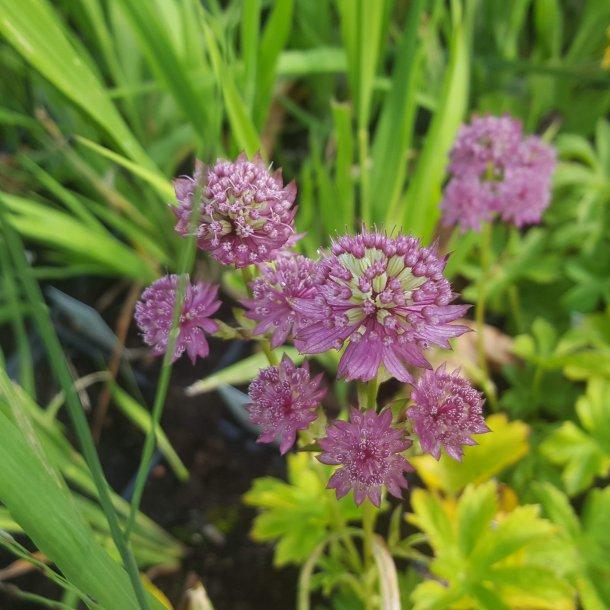 Astrantia hybrid 'Star of Beauty'.<br/>Stjerneskærm