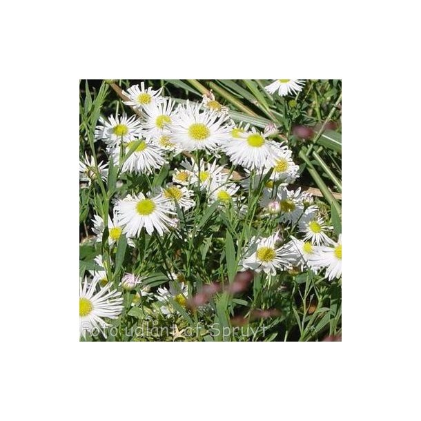 Boltonia asteroides 'Snowbank'.<br/>Boltonia