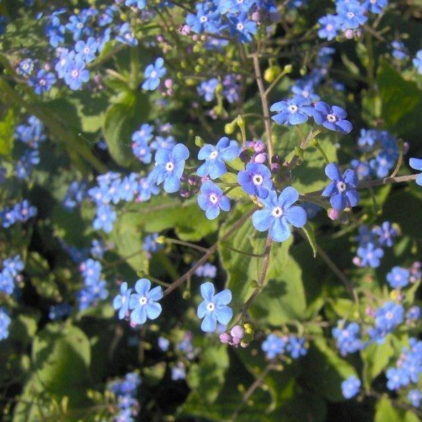 Brunnera macrophylla.<br/>Kærmindesøster