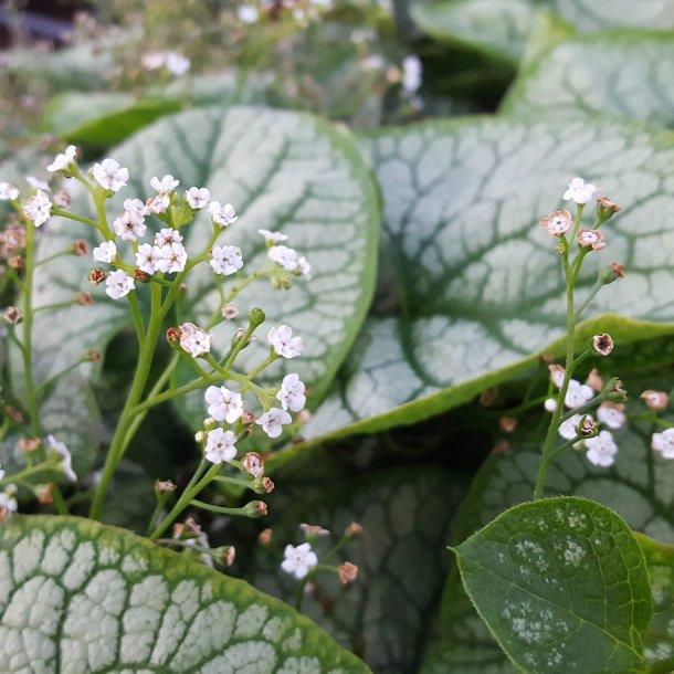 Brunnera macrophylla 'Mister Morse'.<br/>Kærmindesøster