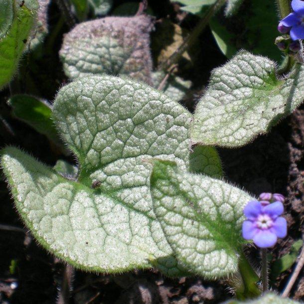 Brunnera macrophylla 'Jack Frost'. <br/>Kærmindesøster