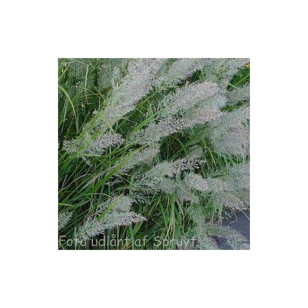 Calamagrostis brachytrica. <br/>Koreansk sandrørhvene
