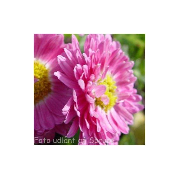 Chrysanthemum indicum 'Corinna'