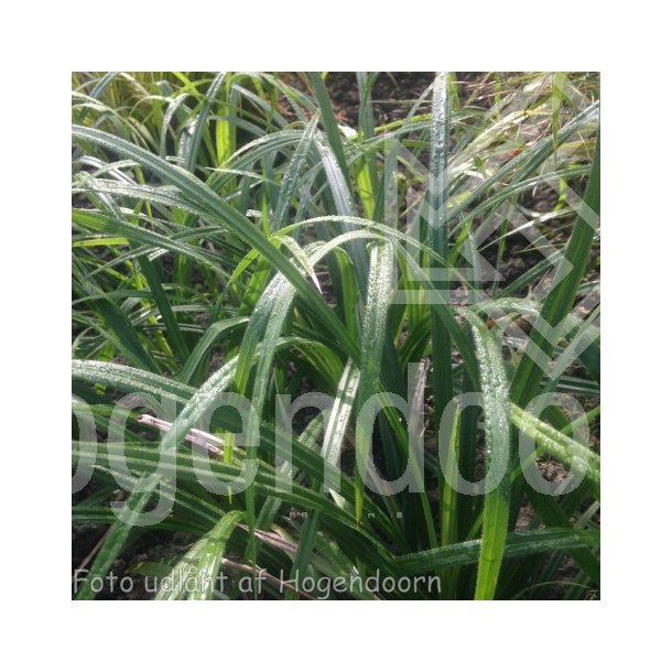 Carex pilosa 'Copenhagen Select'. <br/>Star