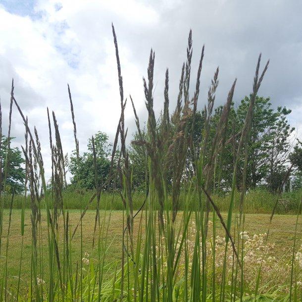 Calamagrostis acutiflora 'Karl Foerster'. <br/>Sandrørhvene