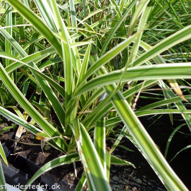 Carex morrowii 'Ice Dance'. <br/>Star