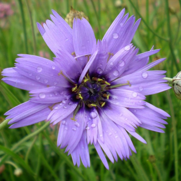 Catananche caerulea 'Major'. <br/>Rasleblomst