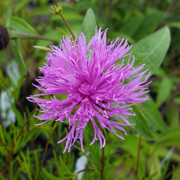 Centaurea 'Caramia'. <br/>Knopurt