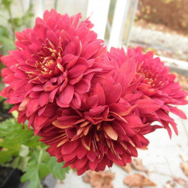Chrysanthemum indicum 'Brennpunkt'