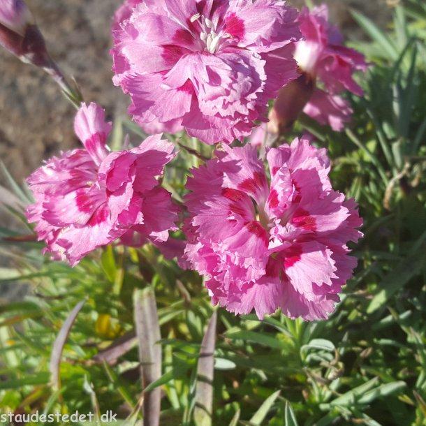 Dianthus plumarius 'Maggie'. <br/>Fjernellike