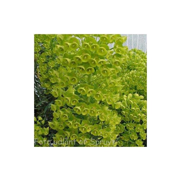 Euphorbia characias subsp. wulfenii. <br/>Vortemælk