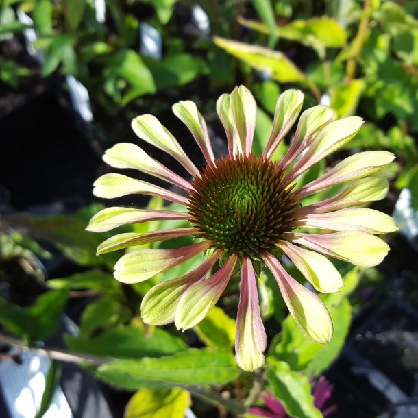 Echinacea purpurea 'Green Twister'. <br/>Purpursolhat