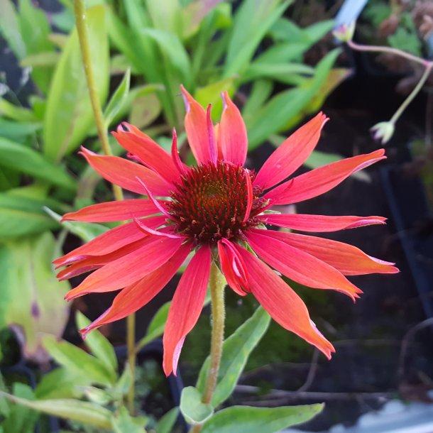 Echinacea purpurea 'Hot Lava'. <br/>Purpursolhat