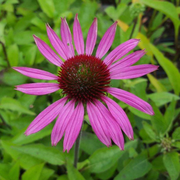 Echinacea purpurea 'Little Magnus'. <br/>Purpursolhat