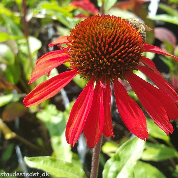Echinacea SunSeekers 'Orange'. <br/>Purpursolhat