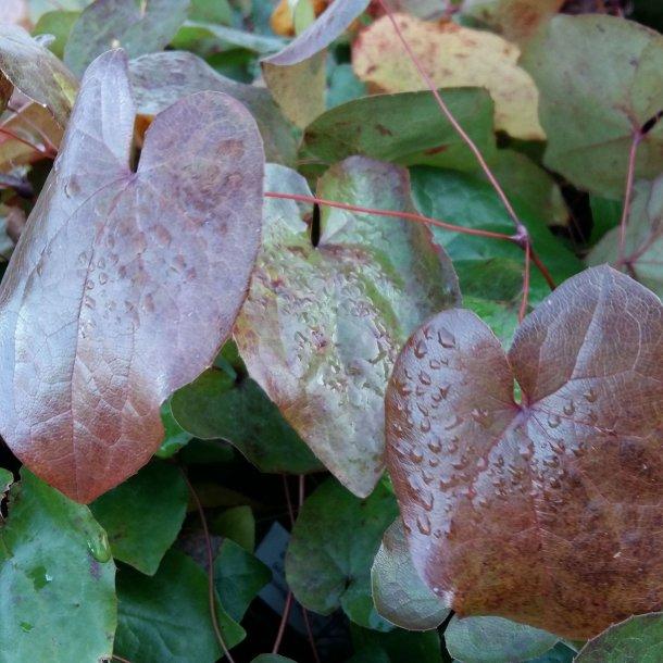 Epimedium pinnatum 'Black Sea'.<br/> Bispehue
