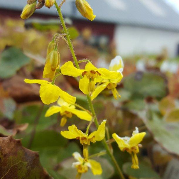 Epimedium perralderianum 'Frohnleiten'. <br/>Bispehue