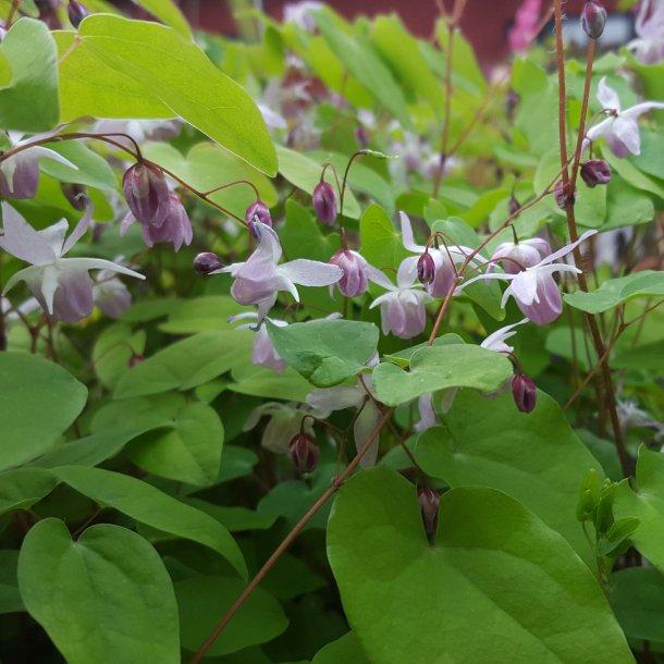 Epimedium youngianum 'Roseum'. <br/>Bispehue