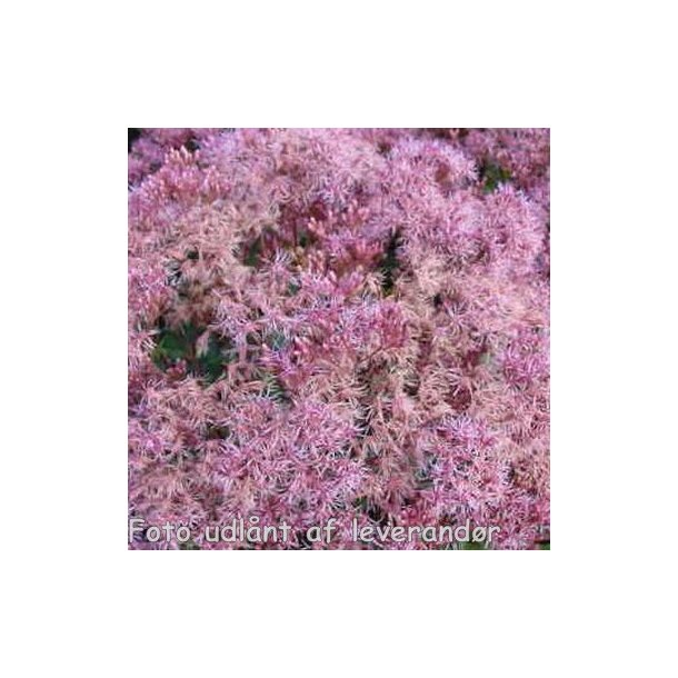 Eupatorium maculatum 'Purple Bush'. <br/>Hjortetrøst