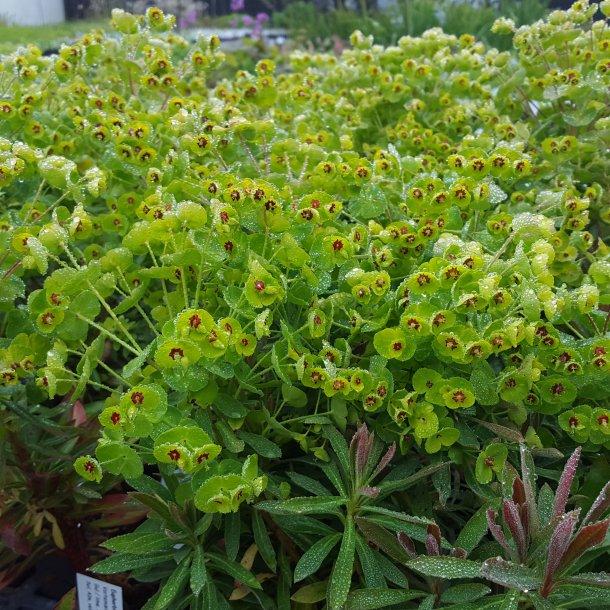 Euphorbia x martinii 'Kolibri'. <br/>Vortemælk