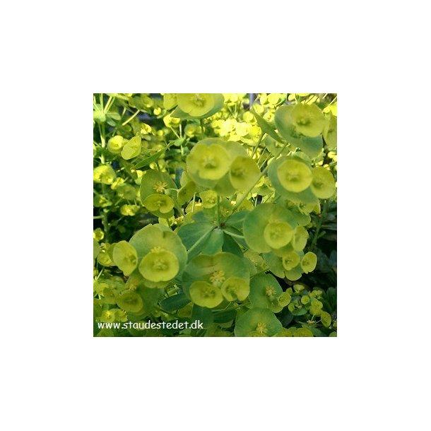 Euphorbia amygdaloides var. robbiae. <br/>Vortemælk