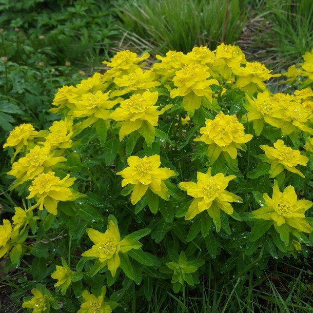 Euphorbia polycroma 'Senior'. Vortemælk