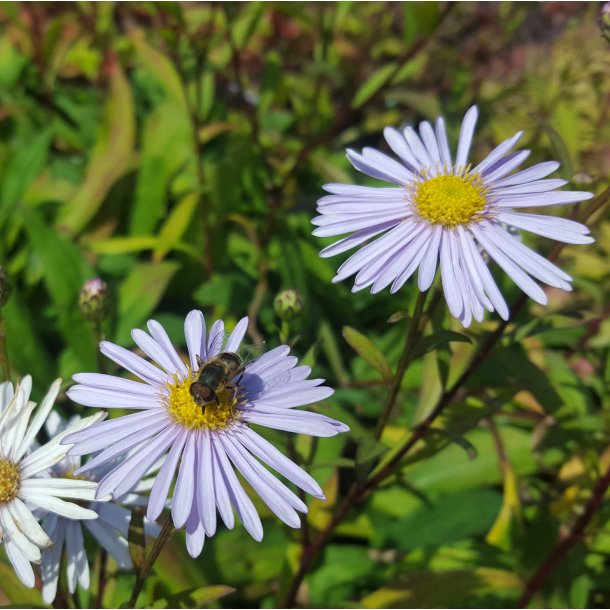 Eurybia spectabilis 'Macho Blue'. <br/>Asters