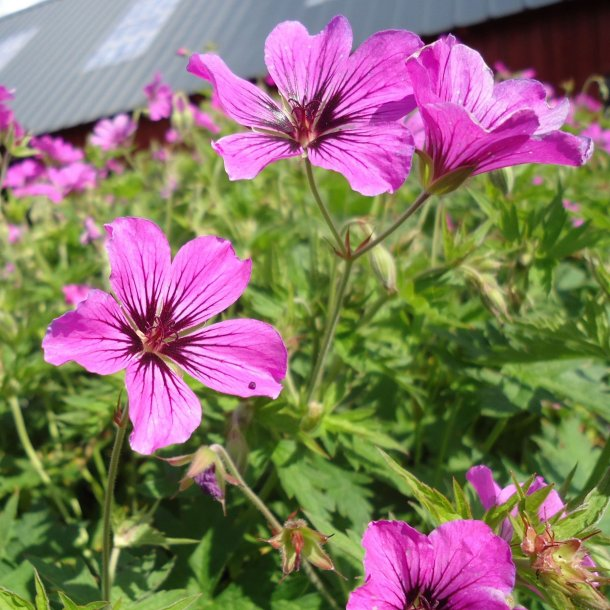 Geranium 'Patricia'. <br/>Storkenæb