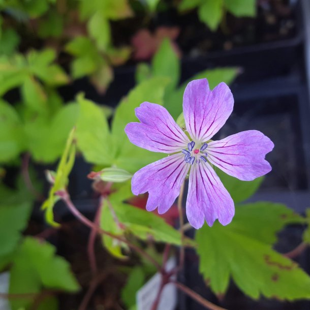 Geranium nodosum 'Swiss Purple'. <br/>Storkenæb