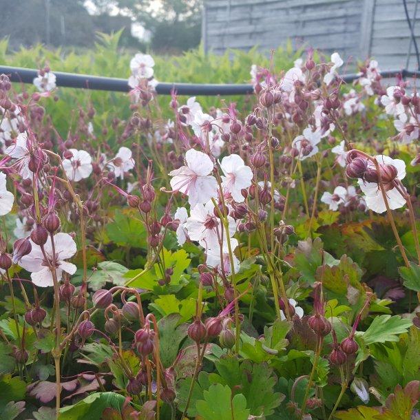 Geranium cantabrigiense 'Biokovo'. <br/>Storkenæb