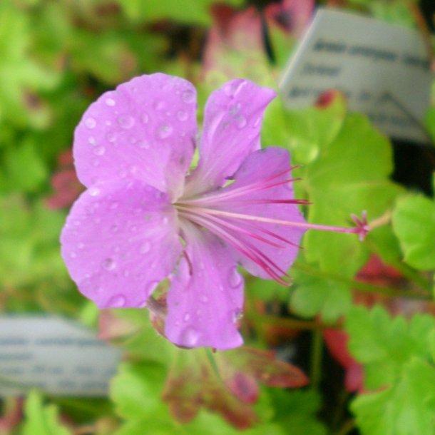 Geranium cantabrigiense 'Cambridge'. <br/>Storkenæb